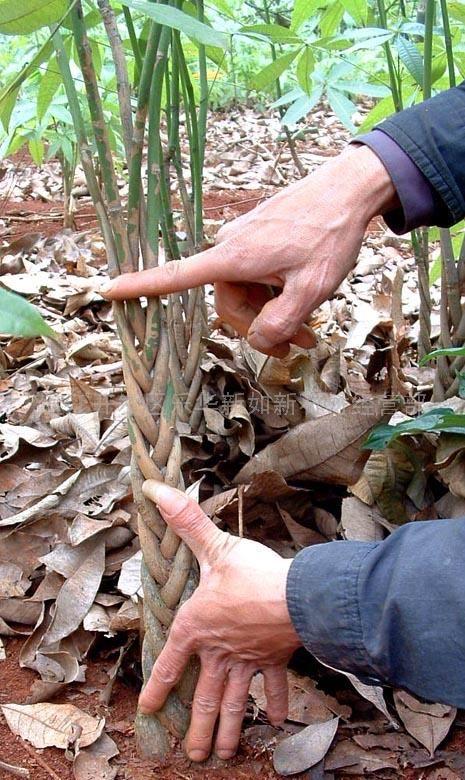 发财树幼苗  供应 商:湛江开发区乐华新如新石材经营部