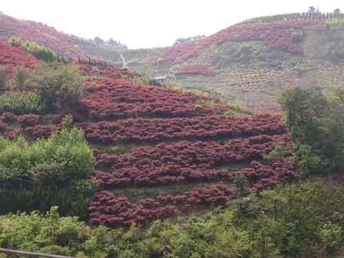 風景園林紅楓手繪圖