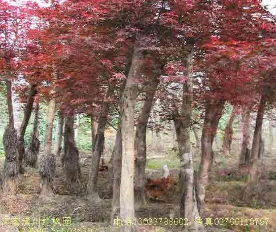 槐树 红枫树 元宝枫 五角枫 香椿树 千头椿树 椿树 垂榆树