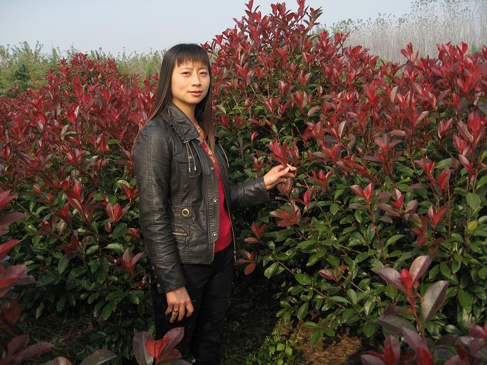 红叶石楠(日本火焰)