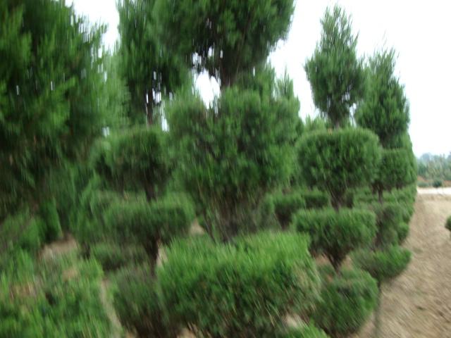 中国安徽省来安县华美苗木场