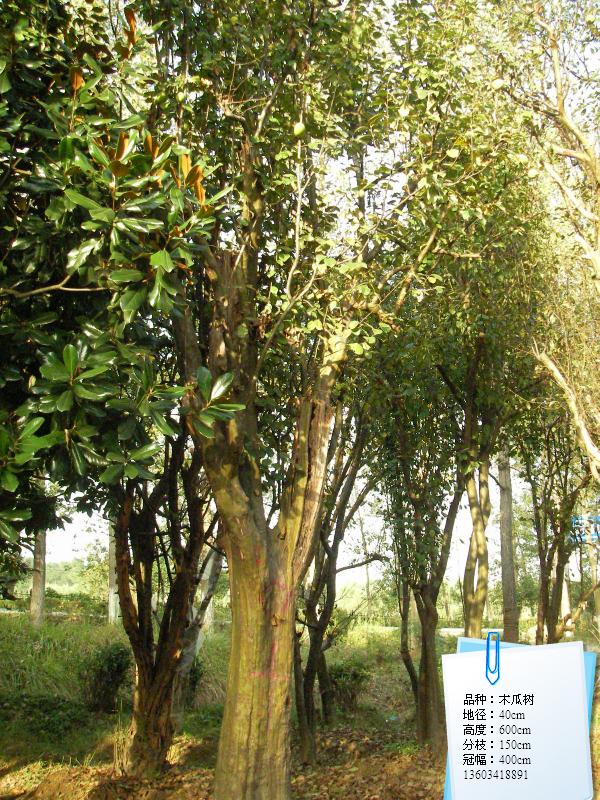 木瓜树 木瓜树供应 河南桐柏淮源花木园林公司 -木瓜树