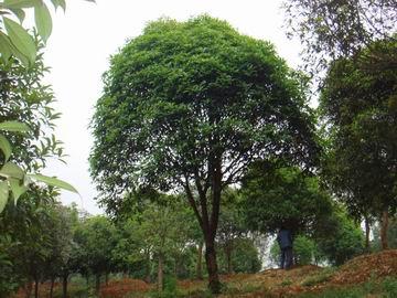 广玉兰,楠树