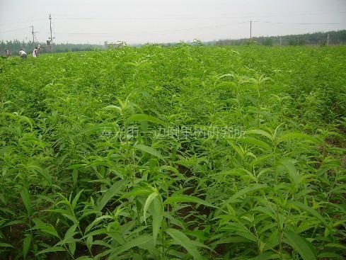 壁纸 草 成片种植 风景 绿色 植物 种植基地 桌面 489_367