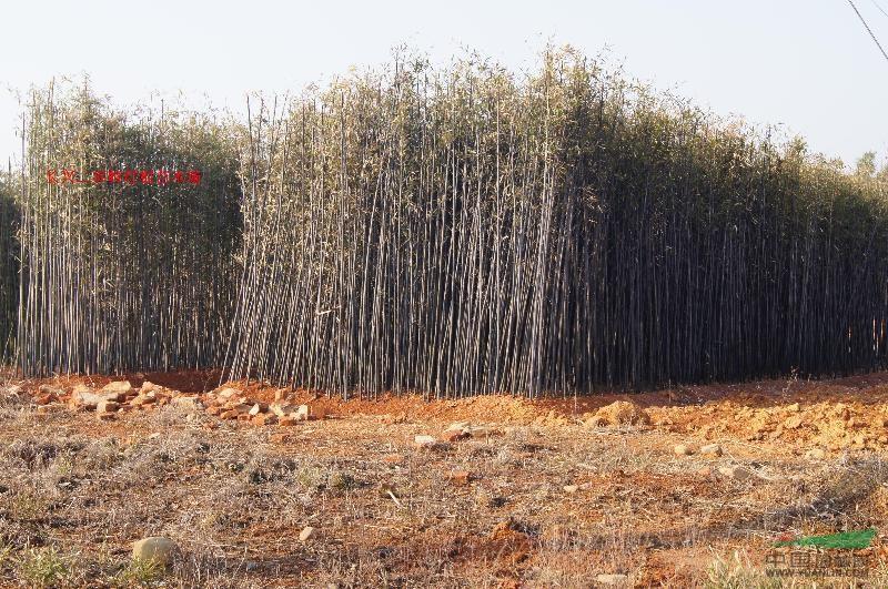 各种风景竹_各种风景竹图片_长兴二界岭红根苗木场