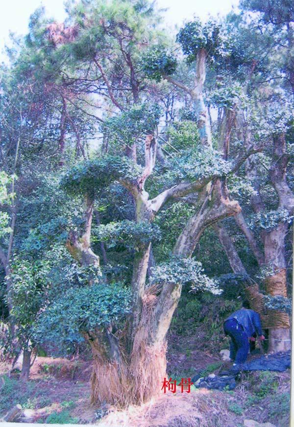 枸骨树能长多高