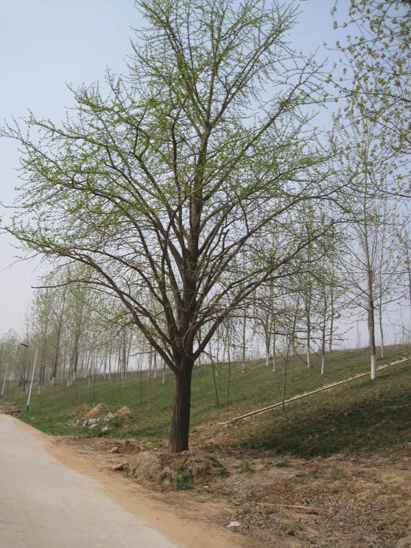 孤植银杏树手绘图