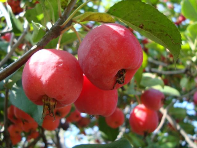 八棱海棠果实中的果籽是种植果树优良普遍常用的种子.