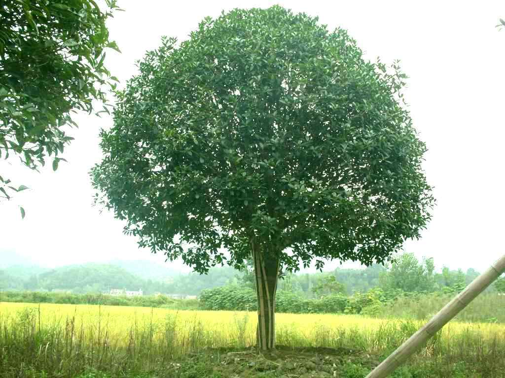 各种规格桂花树,桂花苗