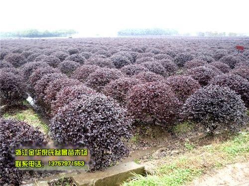 优惠价大批量供应红花继木球形苗