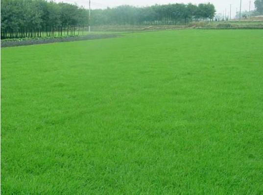 草皮 台湾青,美国二号,马尼拉 高清图片