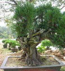 山玉兰,榆树,柿树,臭椿,20公分以上木瓜树,桂花树,国槐,黑松盆景,流苏