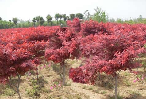 壁纸 成片种植 枫叶 风景 红枫 树 植物 种植基地 桌面 476_324