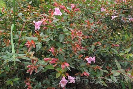 红花六道木 - 苗木供应信息
