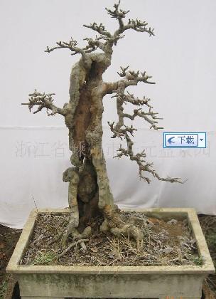 树木盆景_树木盆景图片