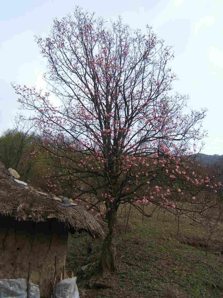 红花玉兰为落叶大乔木图片