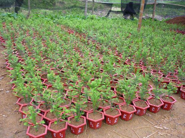 红豆杉||形态特征:红豆杉是常绿乔木,小枝秋天变成黄绿色或淡红褐色,叶条形,雌雄异株,种子扁圆形。种子用来榨油,也可入药。属浅根植物,其主根不明显、侧根发达,高30m,干径达1m。叶螺旋状互生,基部扭转为二列,条形略微弯曲,长1~2.5cm,宽2~2.5mm,叶缘微反曲,叶端渐尖,叶背有2条宽黄绿色或灰绿色气孔带,中脉上密生有细小凸点,叶缘绿带极窄,雌雄异株,雄球花单生于叶腋,雌球花的胚珠单生于花轴上部侧生短轴的顶端,基部有圆盘状假种皮。种子扁卵圆形,有2棱,种卵圆形,假种皮杯状,红色。