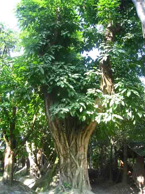 黄角树平立面手绘