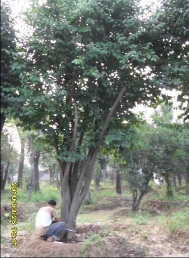 木瓜 木瓜供应 山东大树园林景观工程有限公司