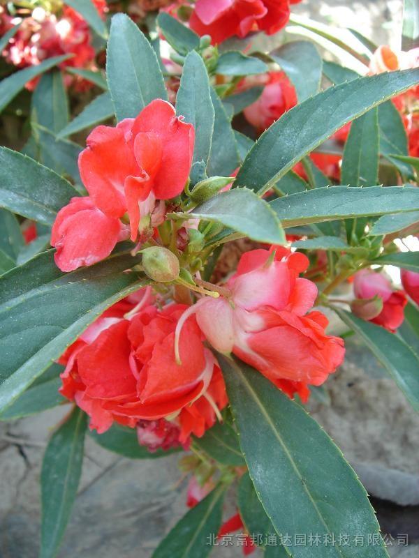 凤仙花种子是什么样子 凤仙花是什么样子 凤仙花种子爆开的样子