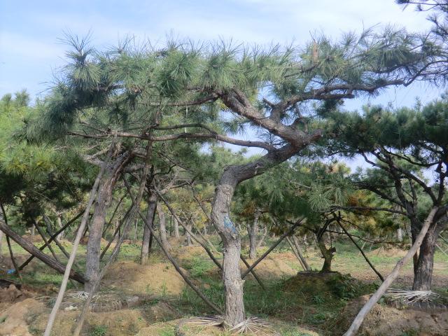 详细说明                               本基地常年供应油松,柿子树