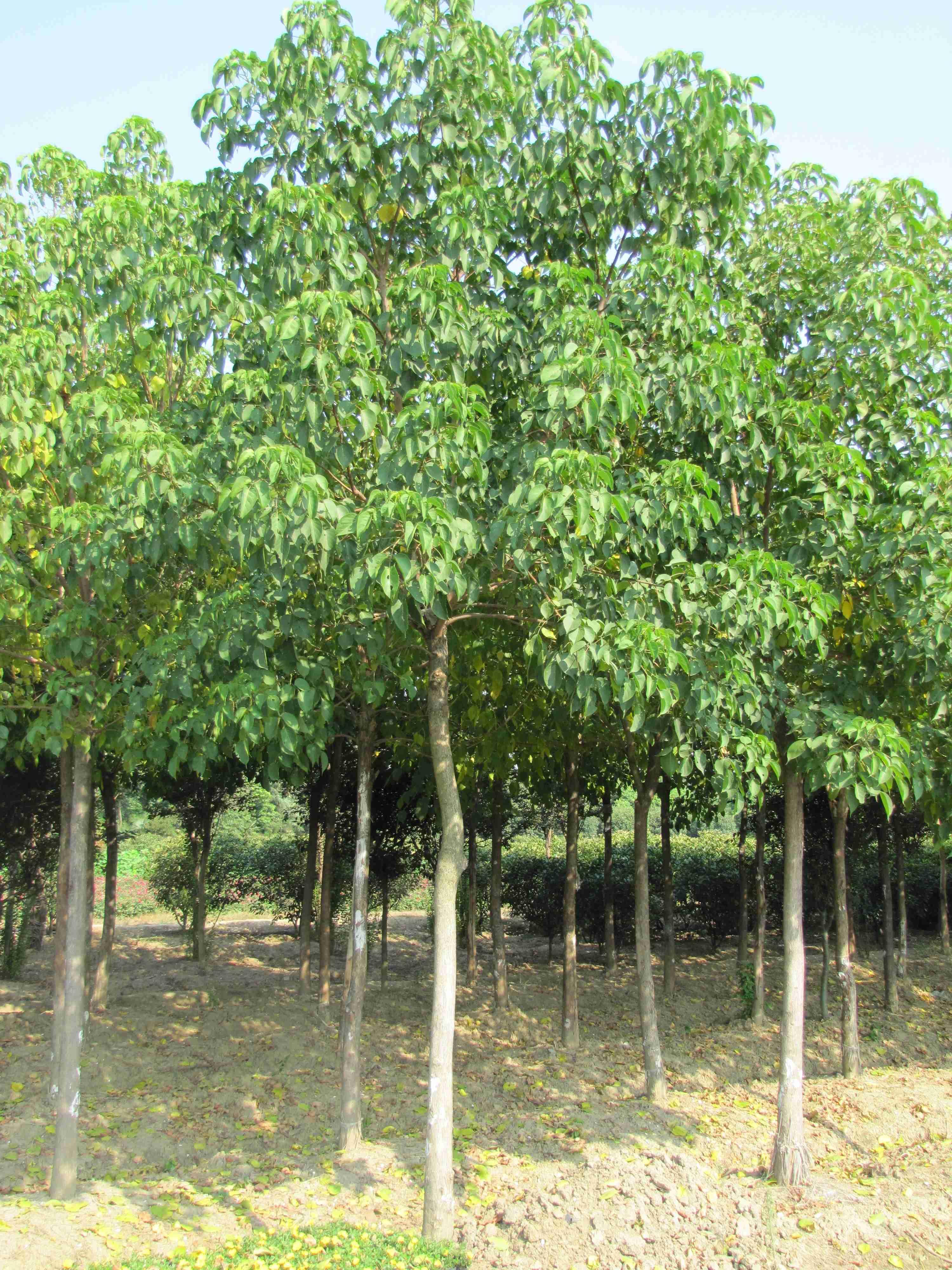 重阳木 - 苗木供应信息 - 安徽省肥西县飞鸿苗圃