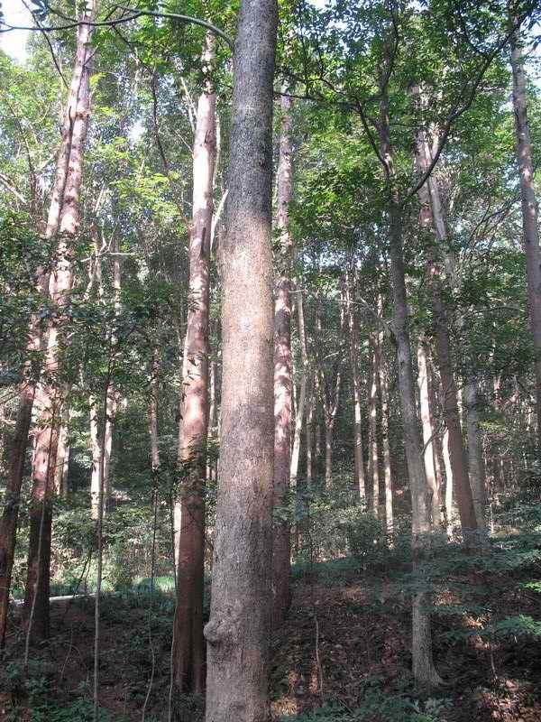 金丝楠木图片