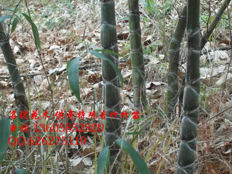 红豆杉_红豆杉图片_绍兴新昌名优花木场_中国园林网