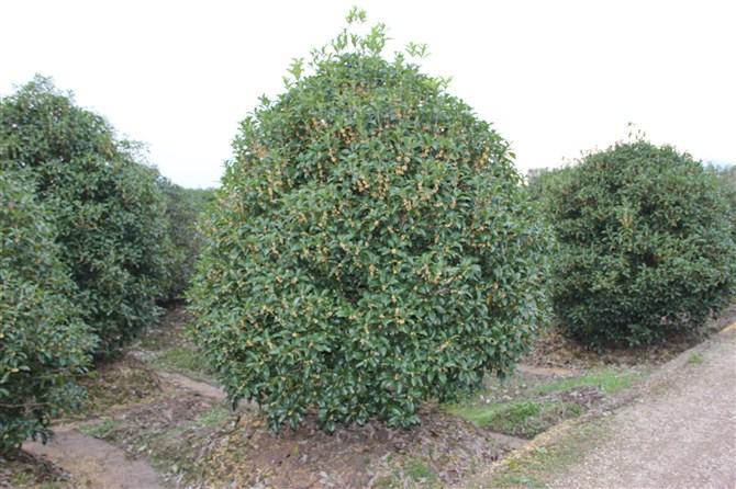 桂花价格_供应_图片_广西神州苗木种植基地