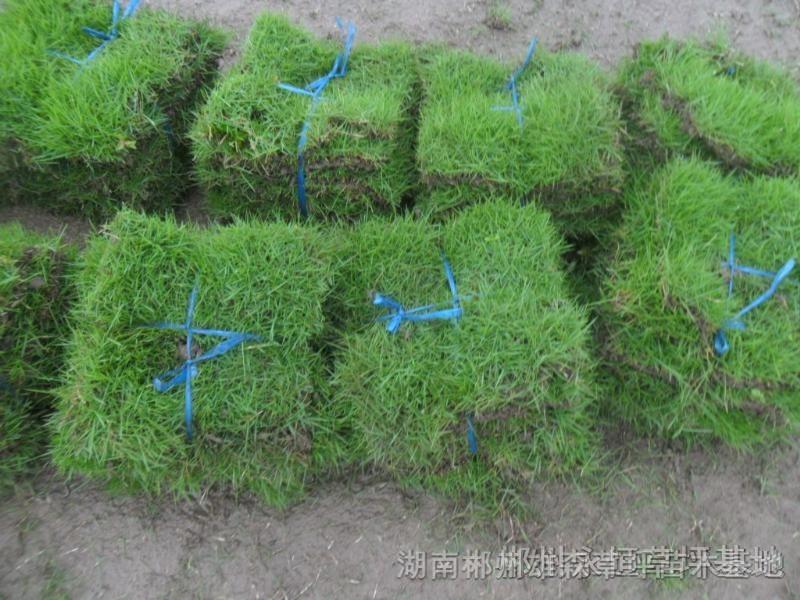 马尼拉草皮 高清图片
