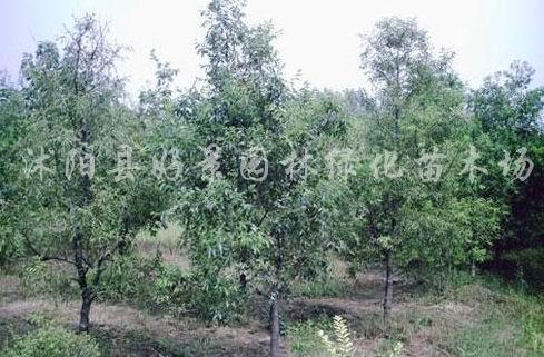木瓜树 木瓜树供应 沭阳县好景园林绿化苗木场