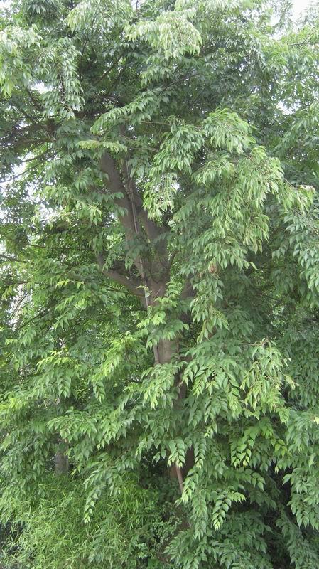 首页 绿化苗木频道 苗木供应 绿化苗木 乔木 朴树  供应&nbsp
