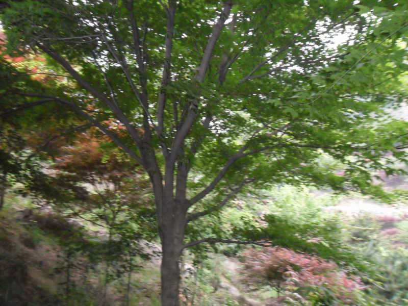 日本柳杉.绣线菊.黑松.桂花.木荷.兰花.青枫.枫香.红.白.黄.广玉兰.