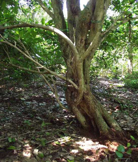 九里香盆景 九里香树