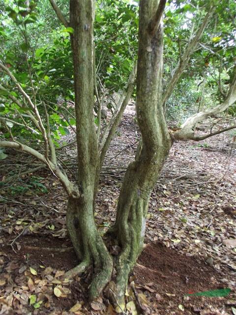 九里香 九里香盆景树