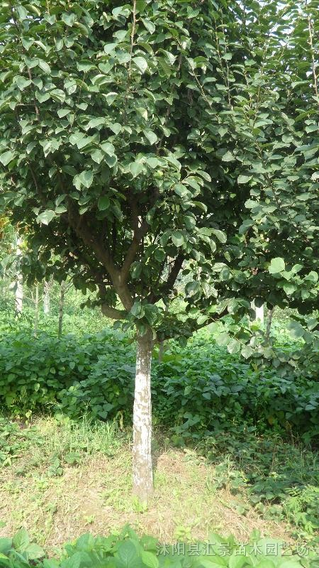 供应大木瓜树,木瓜小苗,木瓜种子