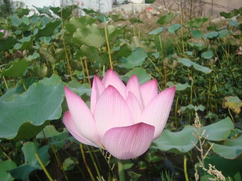 荷花鲜花,荷叶,莲子