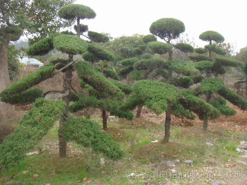 形态特征:龙柏是圆柏的人工栽培变种。树冠圆柱状或柱状塔形;枝条向上直展,常有扭转上升之势,小枝密、在枝端成几相等长之密簇;鳞叶排列紧密,幼嫩时淡黄绿色,后呈翠绿色;球果蓝色,微被白粉。 高可达8米,树干挺直,树形呈狭圆柱形,小枝扭曲上伸,故而得名。小枝密集,叶密生,全为鳞叶,幼叶淡黄绿色,老后为翠绿色。球果蓝绿色,果面略具白粉。龙柏树形除自然生长成圆锥形外,也有的将其攀揉盘扎成龙、马、狮、象等动物形象,也有的修剪成圆球形、鼓形、半球形,单值或列杆、群植于庭园,更有的栽址成绿篱,经整形修剪成平直的圆脊形,可