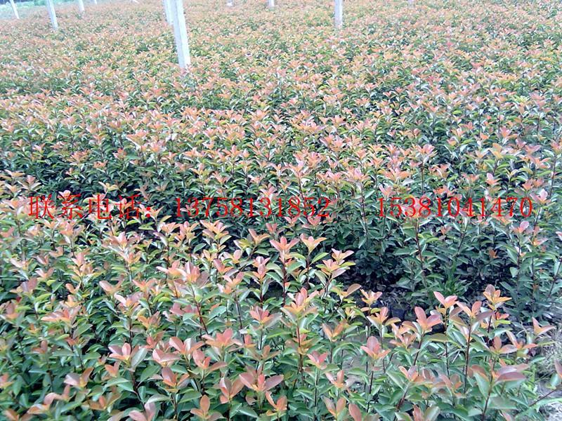 红栀子花盆景图片