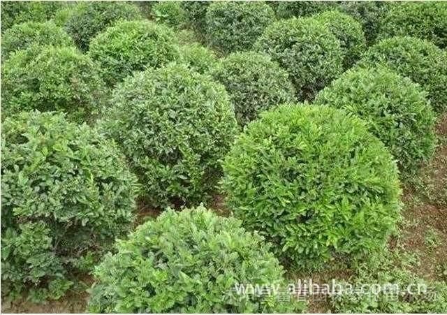 水腊,水腊苗,水腊球,水蜡绿篱色块苗,水蜡基地,江苏沭阳水腊图片