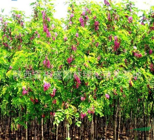 刺槐树根雕花架图片