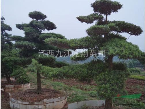 首页 绿化苗木频道 苗木供应 绿化苗木 乔木 造型罗汉松,罗汉松价格