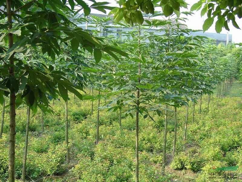 七叶树苗木价格_七叶树种子七叶树苗木价格大图供应七叶树供