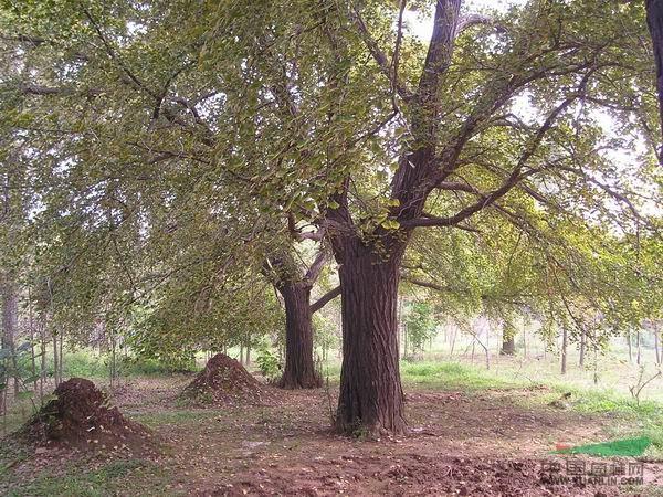 供应信息 绿化苗木 灌木 > 正文  本公司常年供应大型树种,树种,树形