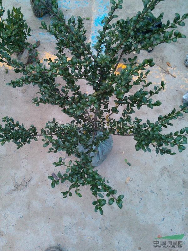 瓜子黄杨,龟甲冬青绿化苗