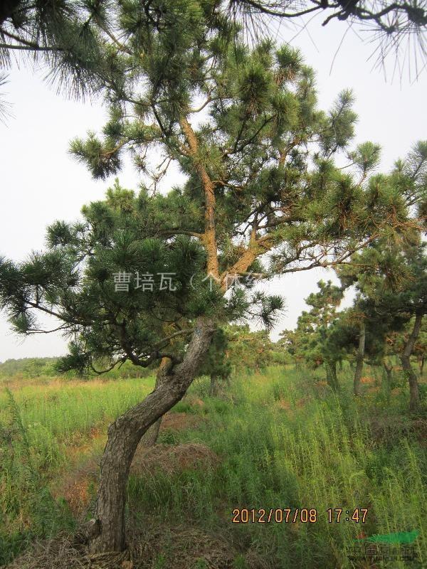 黑松景观树