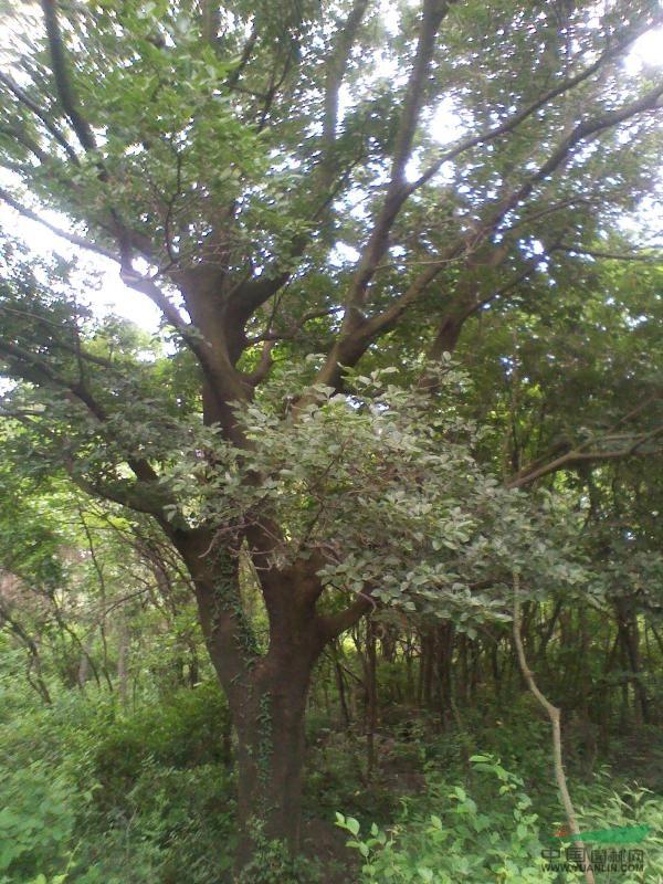 朴树_朴树供应_滁州来安长山苗木基地