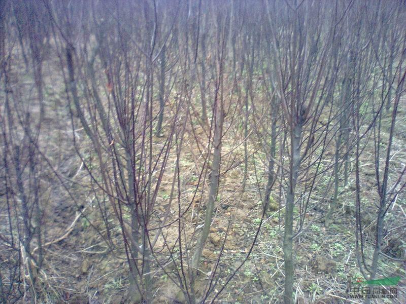 【油水木树】黄连木树是一还有物此外,与黄连木种植的同属紫黄连烟炭图片