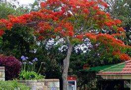 红花??木 效果图
