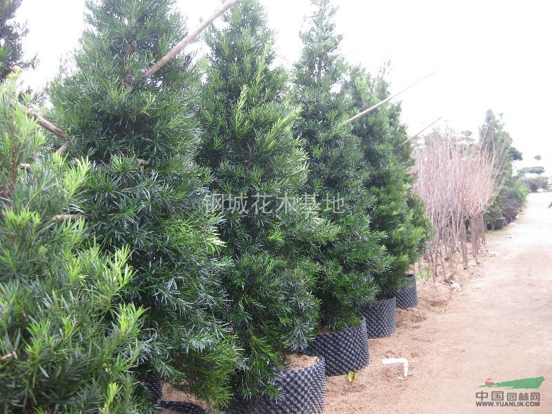 首页 绿化苗木频道 苗木供应 绿化苗木 乔木 长期供应各种规格塔型
